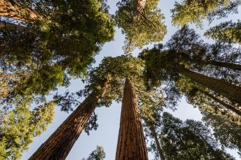 Giant_sequoias_in_Sequoia_National_Park_2013